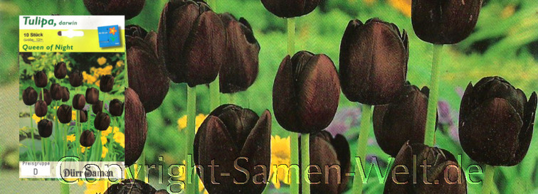 Tulipa, Tulpen Queen of Night, 10 Blumenzwiebeln